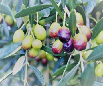 Kangaroo island olives little liguria extra virgin olive oil table olives