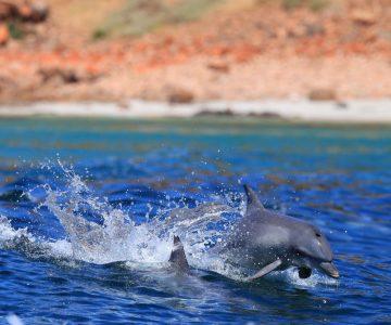 kangaroo island dolphins