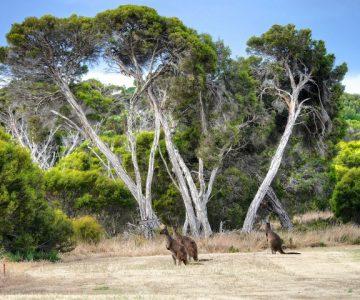 kangaroos wild life conservation