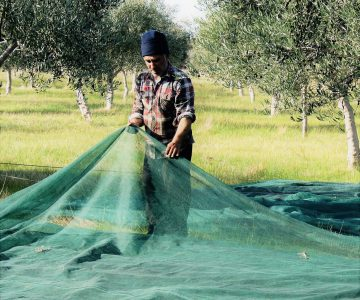 olive hand harvest nets old man olive grove