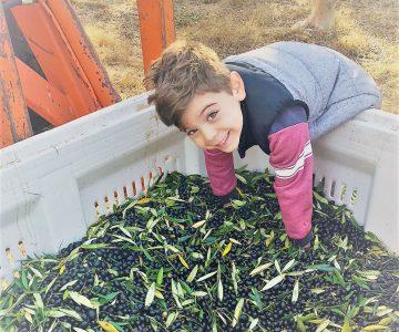 Young boy olive harvest fruit bin
